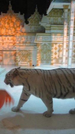 Phuket FantaSea : distressed tiger