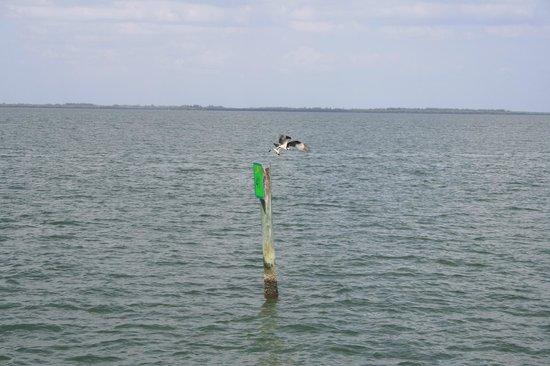Captiva Cruises: osprey with a fish