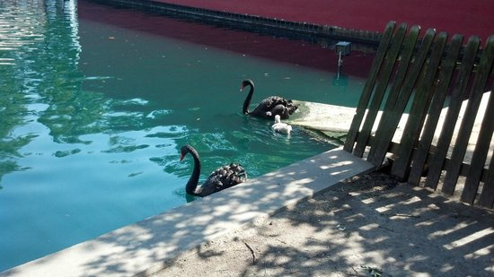 Omni Houston Hotel: Swan couple with babt swimming