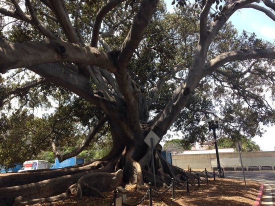 Moreton Bay Fig Tree : Wonderful tree.