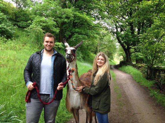 Nidderdale Llamas: Walking Ted!