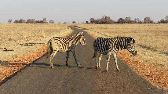 Rietvlei Nature Reserve: Zebra out on a stroll