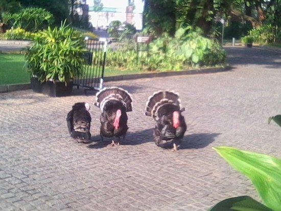 Taj West End : Turkeys in the Garden