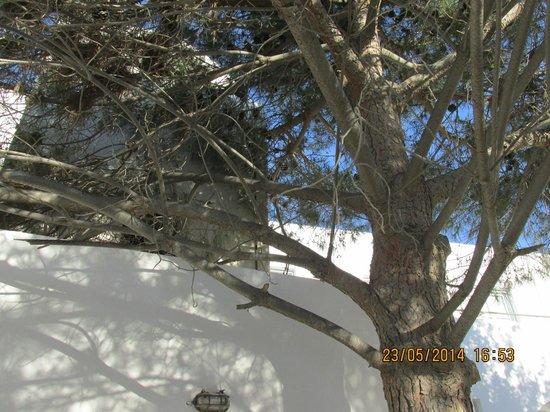 Santorini Reflexions Sea: the pine tree on our patio