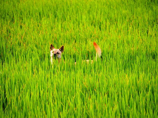 Phong Nha Farmstay: Rice Field in Front of Farm Stay