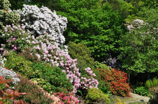Cerne Abbas, UK: Azaleas & Rhododendrons at Minterne gardens, May 2014