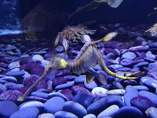Ripley's Aquarium : fancy type of seahorse