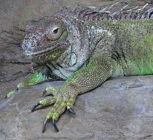 Ripley's Aquarium : iguana