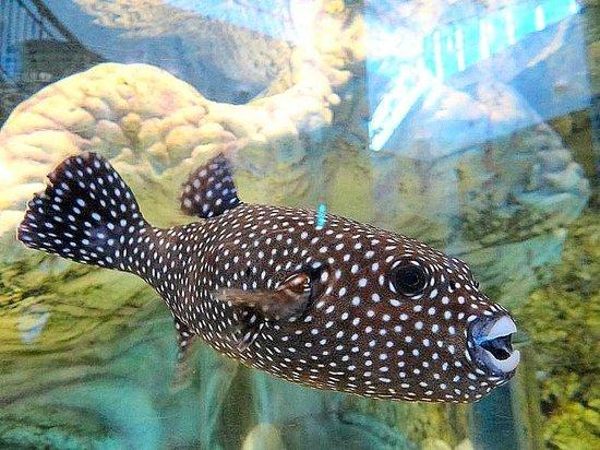 Ripley's Aquarium : puffer fish