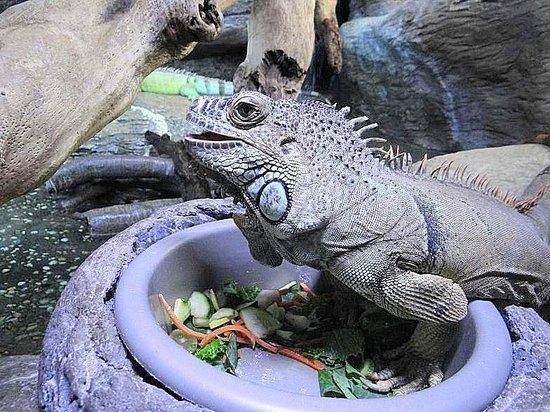 Ripley's Aquarium : iguana eating
