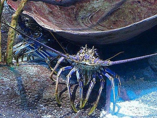 Ripley's Aquarium : lobster