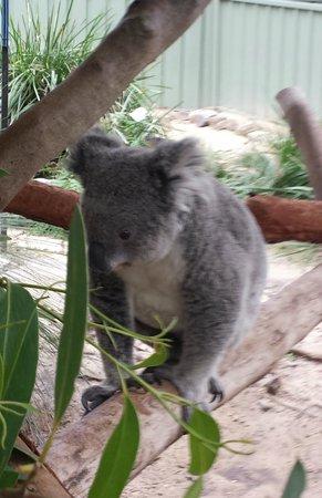 Kangarrific Tours: Koala