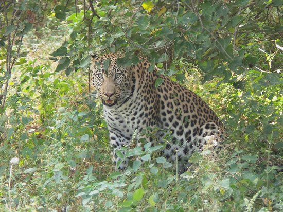 Great Plains Conservation Selinda Camp: Our first leopard.  Ten feet away.  Magnificent ! ! !