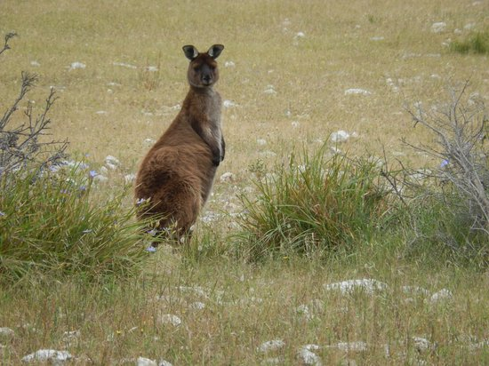 Kangaroo Island Odysseys: Kangaroo Island kangaroo
