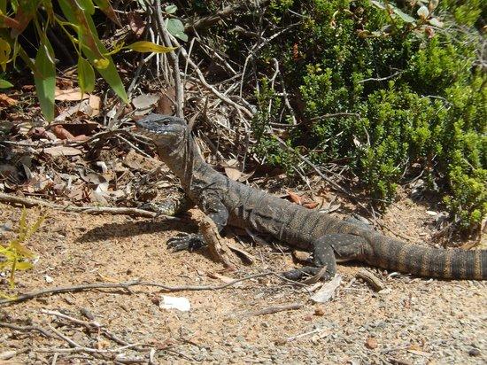 Kangaroo Island Odysseys: Goanna