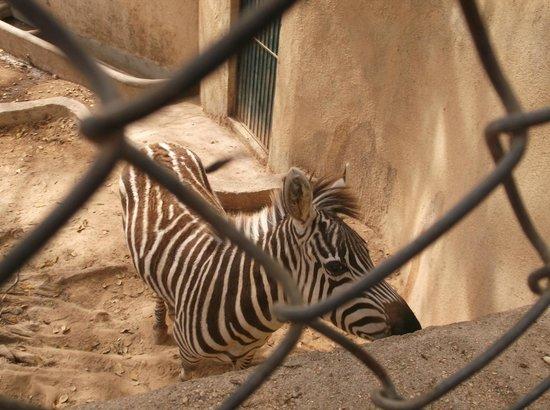 Vallarta Zoo: Zebras