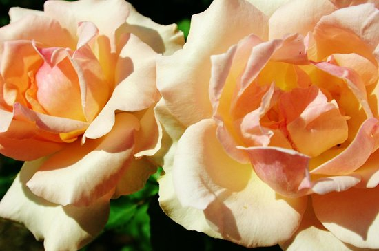Harry P. Leu Gardens : Romantic Roses in the cleverly designed Rose Garden.