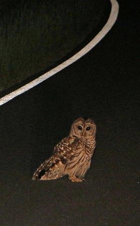 Skyland: Barred Owl on the drive