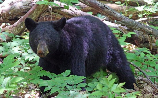 Skyland: Bear off of milemark 48
