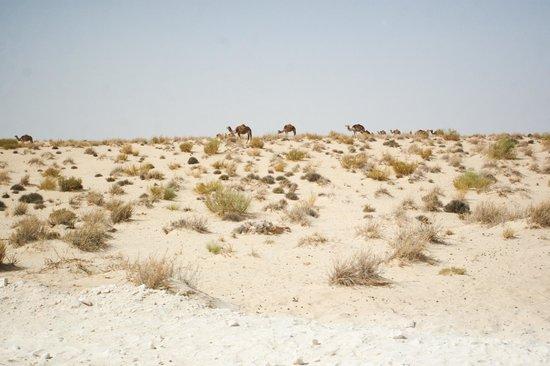 Sahara Desert : Верблюды жуют колючку