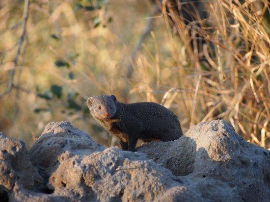 Hamiltons Tented Safari Camp: Dwarf Mongoose