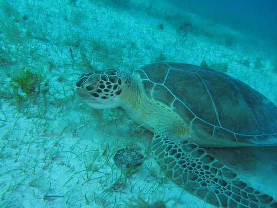 Sea Ventures Dive Center: One of many turtles seen on our dive