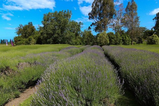 Lavendyl Lavender Farm : The lavender had just started to bloom.