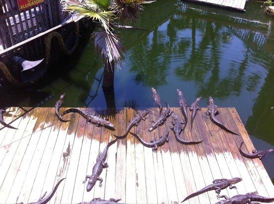 Fudpucker's Beachside Bar & Grill : Alligators were the highlight!