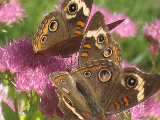 Edgewater, MD: Butterflies enjoying Joe Pieweed flowers at the Education Center