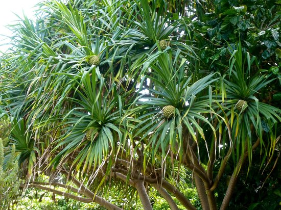 Hale Hoʻikeʻike at the Bailey House: tropical tree