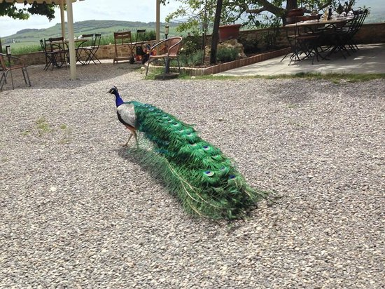 Walks of Italy: Actual peacocks.