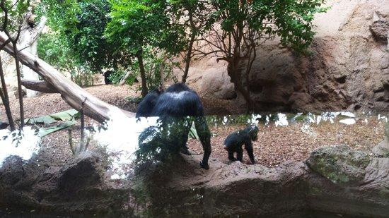 Loro Parque : Une famille chimpanzé