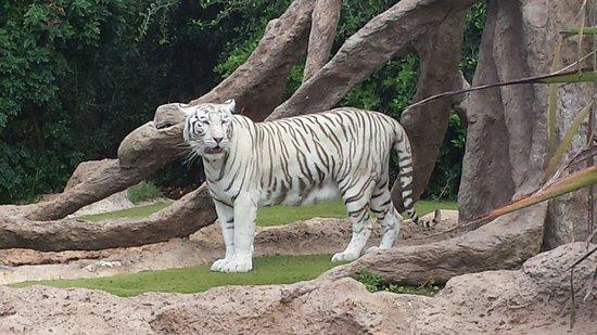 Loro Parque : Très beau tigre blanc