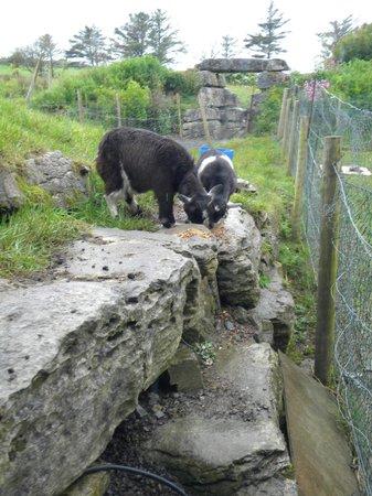 Doolin Cave : little goats