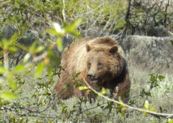 Jackson Hole Wildlife Safaris - Day Tours: Bear 399 seen on May 29 while on Yellowstone tour