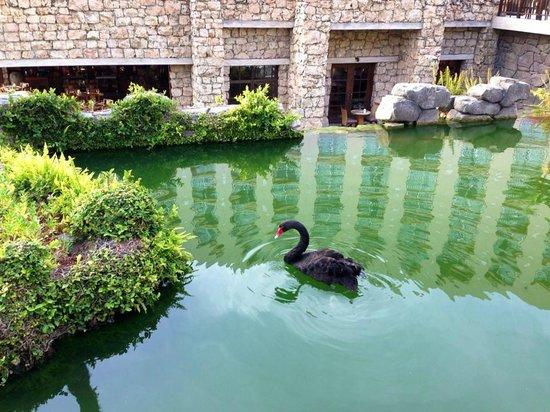 Hyatt Regency Aruba Resort and Casino: The black swans were so gorgeous!!!