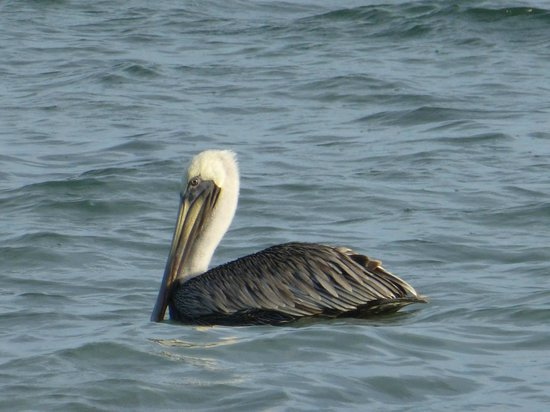 Nah Uxibal Villa and Casitas: Pelicans in our Bay