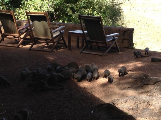 Wildlife Camp: The resident mongoose