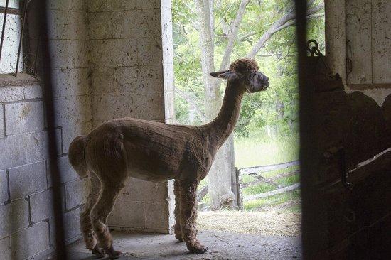 The Inn at Westwynd Farm: Alpaca.   So funny!