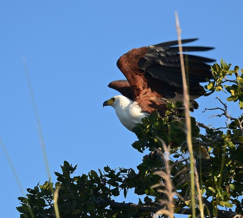 Xugana Island Lodge: African fish eagle from boat