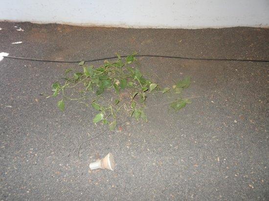 Hesperia Lanzarote : tropical flora?