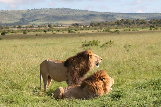 Little Governors' Camp : Male Lions