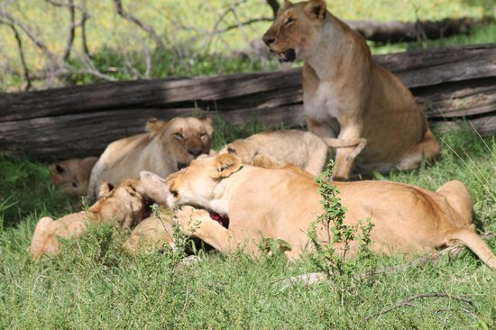 Little Governors' Camp: Lions and cubs feeding