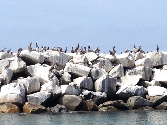 Dana Point, Califórnia: Lots of Stinky Pelicans