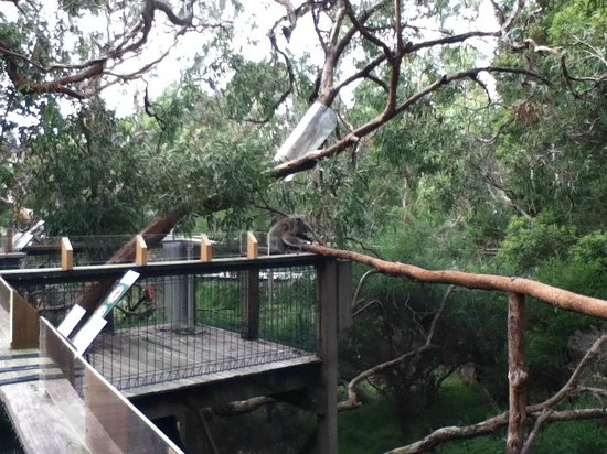 Phillip Island Nature Parks - Koala Conservation Centre: Gets a good perspective of the Koala Highway