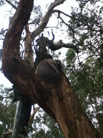 Phillip Island Nature Parks - Koala Conservation Centre: Cute guys in trees