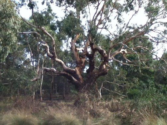 Phillip Island Nature Parks - Koala Conservation Centre: Walking trail