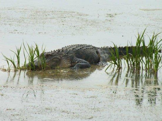Huntington Beach State Park: Gator