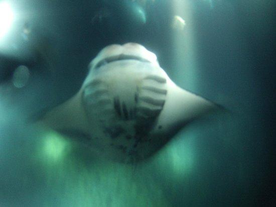 Big Island Divers : Manta Barrel Role