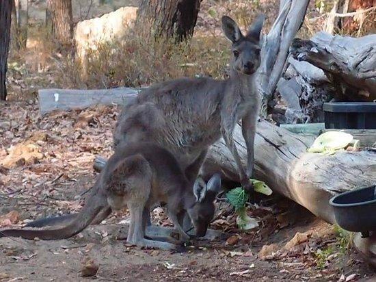 Natures Paradise: Feeding Kangaroo